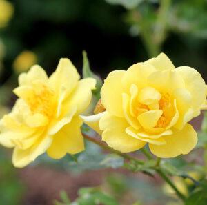 cedar rim nursery Oso Easy Lemon Zest0 blog