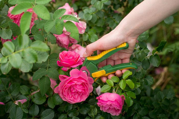 cedar rim nursery trim rose blog