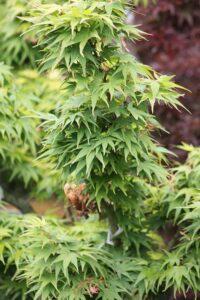 cedar rim nursery Acer palmatum Shindeshojo blog