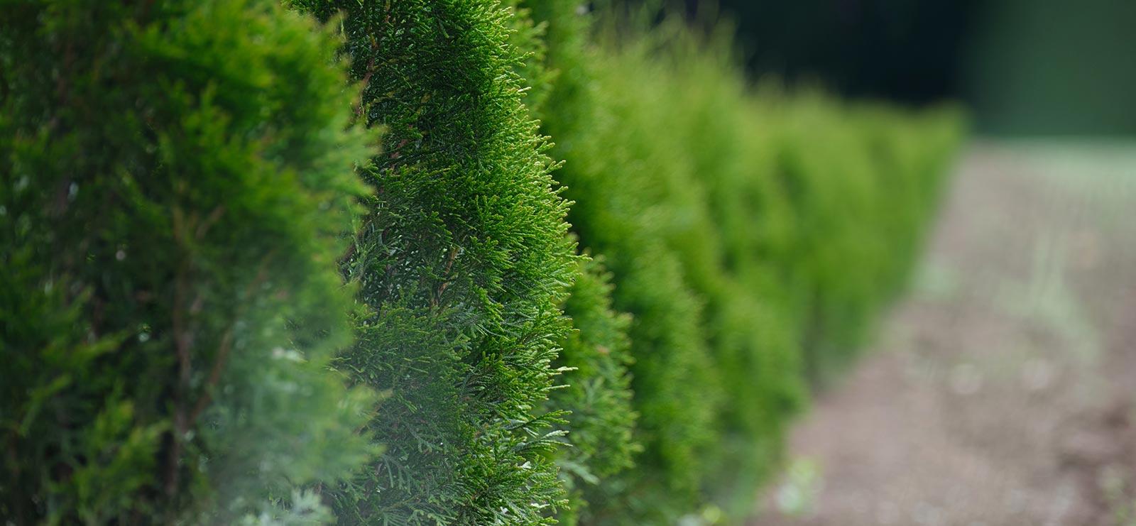 cedar rim nursery hedge blog