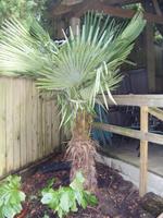 cedar rim bursery Protect your Palms for Winter step 1