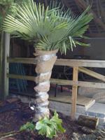 cedar rim bursery Protect your Palms for Winter step 3