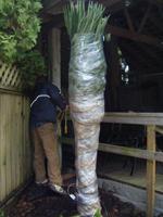 cedar rim bursery Protect your Palms for Winter step 4