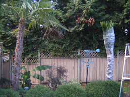 cedar rim bursery Protect your Palms for Winter step 5