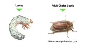 larvae adult and chafer beetle