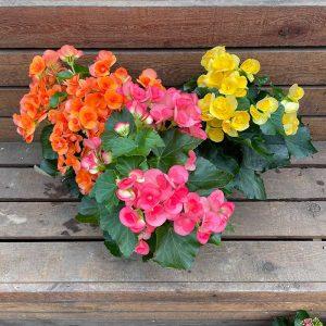 cedar rim nursery store Begonia